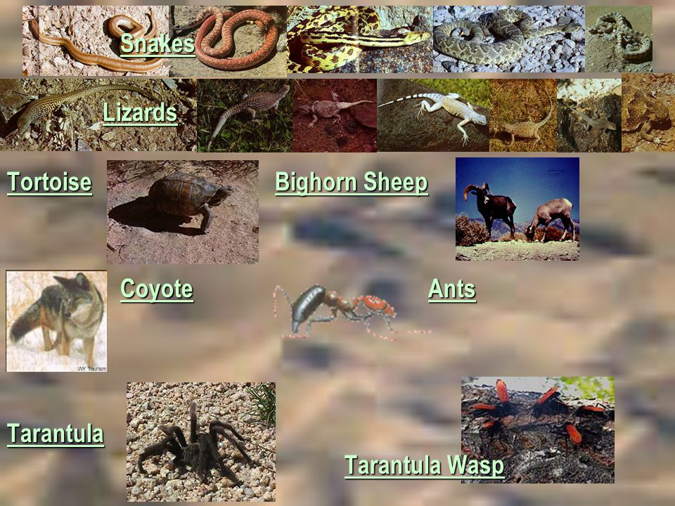 Snakes Lizards. Tortoise Bighorn Sheep.
