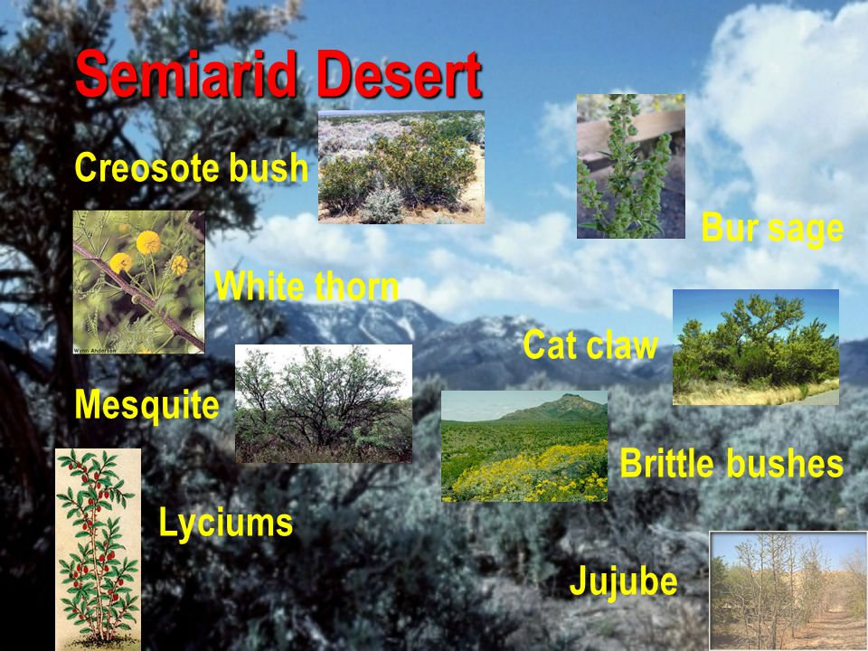 Semiarid Desert Creosote bush Bur sage White thorn Cat claw Mesquite