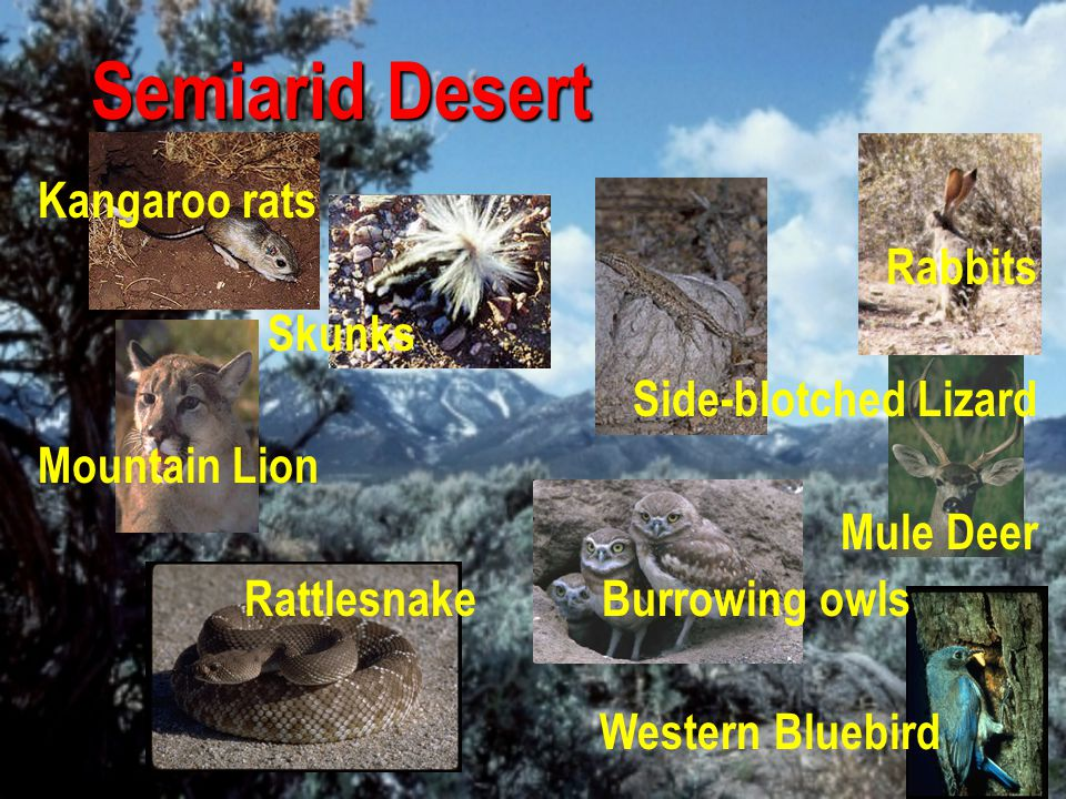 Semiarid Desert Kangaroo rats Rabbits Skunks Side-blotched Lizard