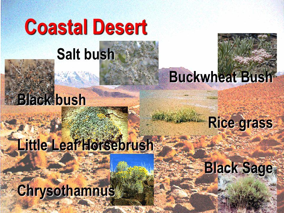 Coastal Desert Salt bush Buckwheat Bush Black bush Rice grass