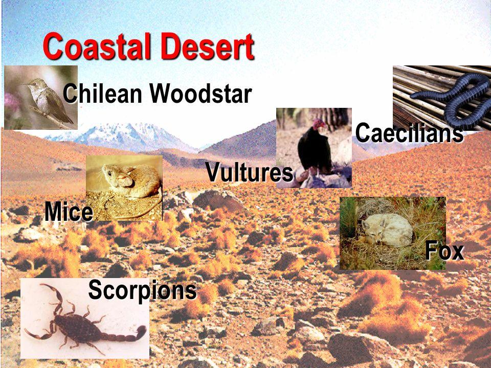 Coastal Desert Chilean Woodstar Caecilians Vultures Mice Fox Scorpions