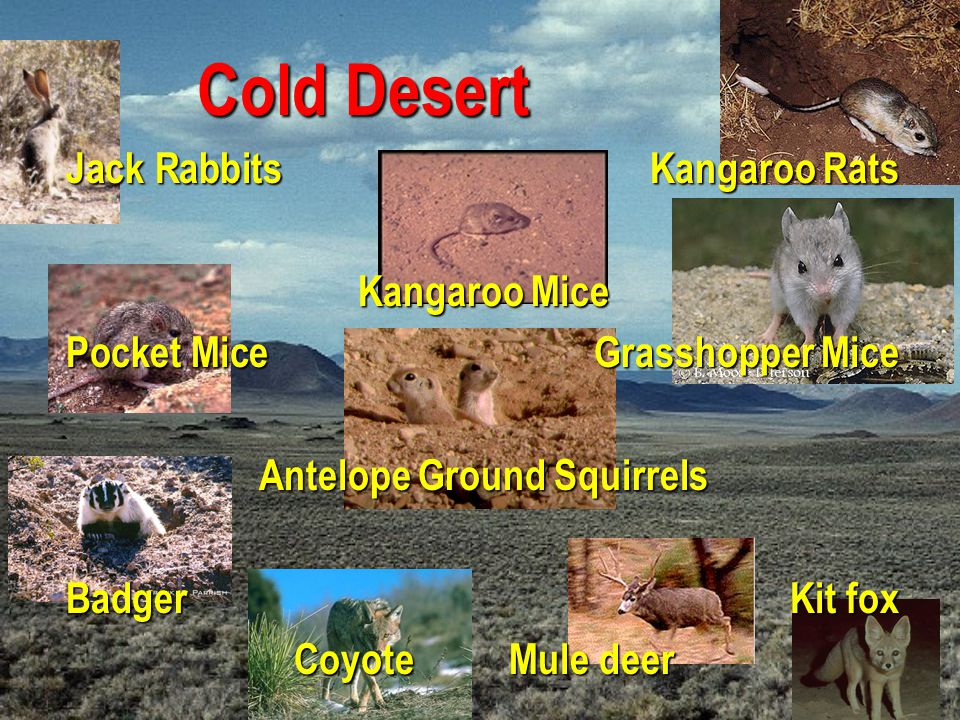 Antelope Ground Squirrels