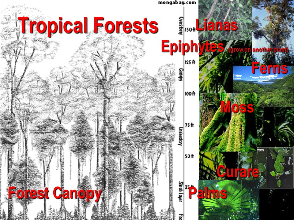 Tropical Forests Lianas Epiphytes (grow on another plant) Ferns Moss