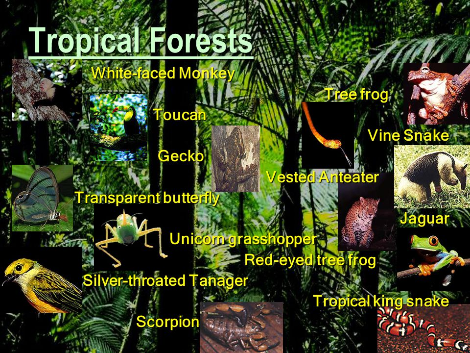 Tropical Forests White-faced Monkey Tree frog Toucan Vine Snake Gecko