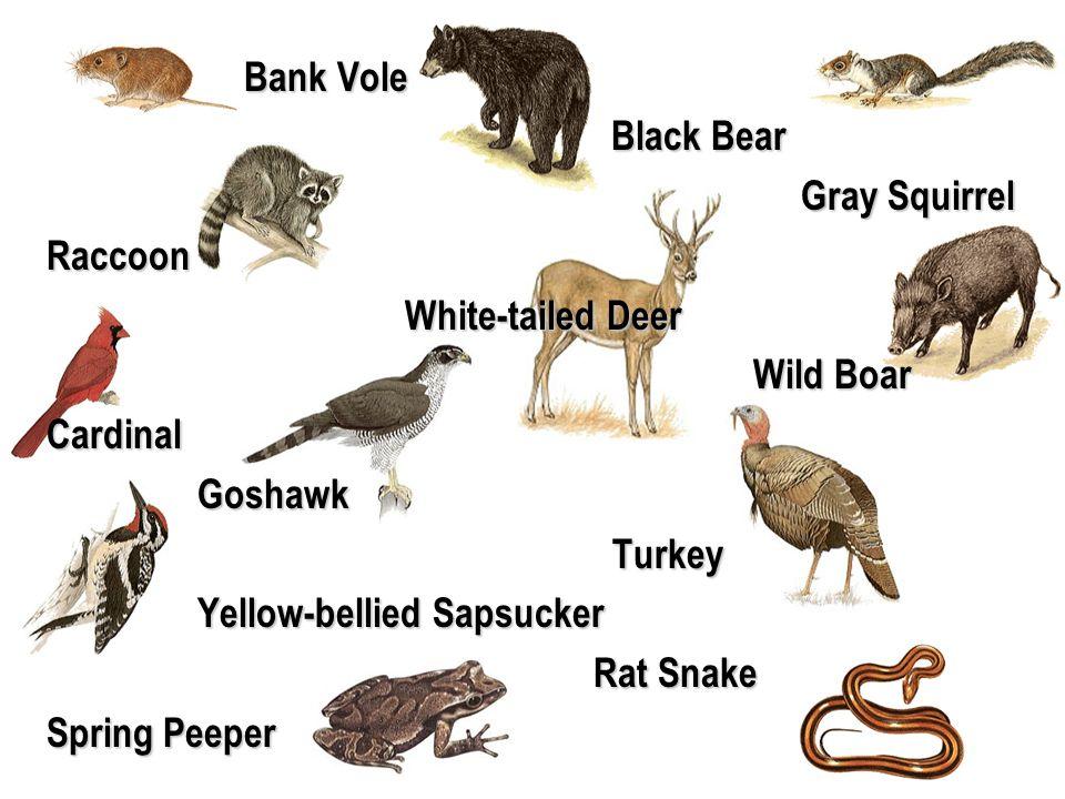 Bank Vole Black Bear. Gray Squirrel. Raccoon. White-tailed Deer. Wild Boar. Cardinal. Goshawk.