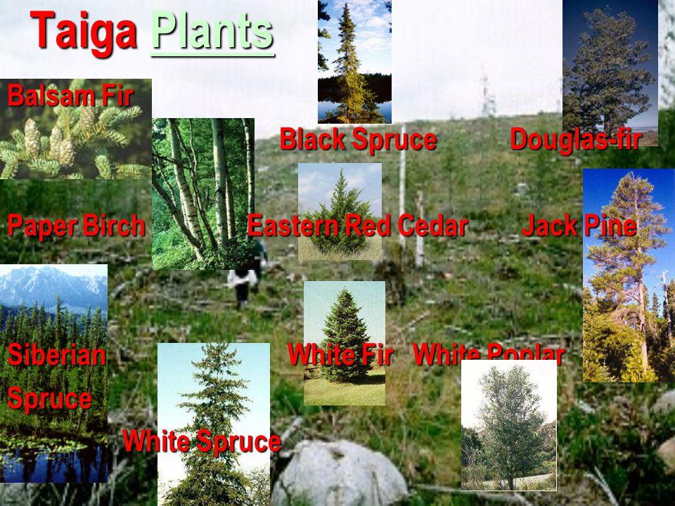 Taiga Plants Balsam Fir Black Spruce Douglas-fir