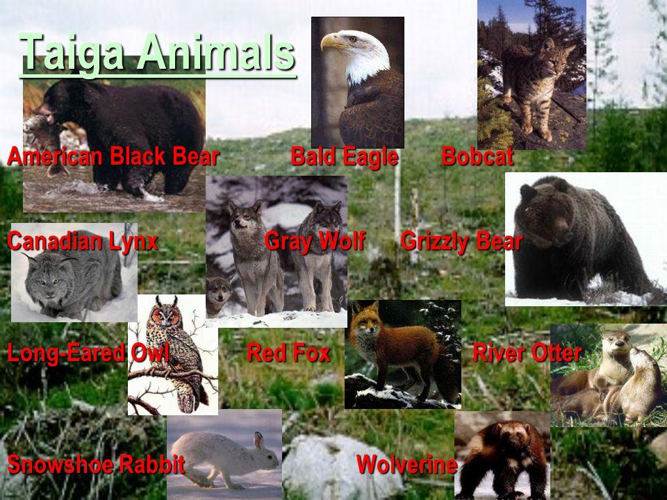 Taiga Animals American Black Bear Bald Eagle Bobcat