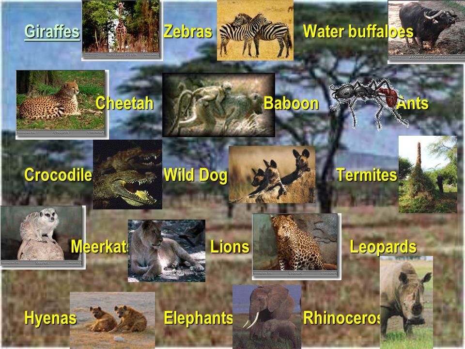 Giraffes Zebras Water buffaloes