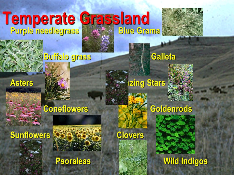 Temperate Grassland Purple needlegrass Blue Grama