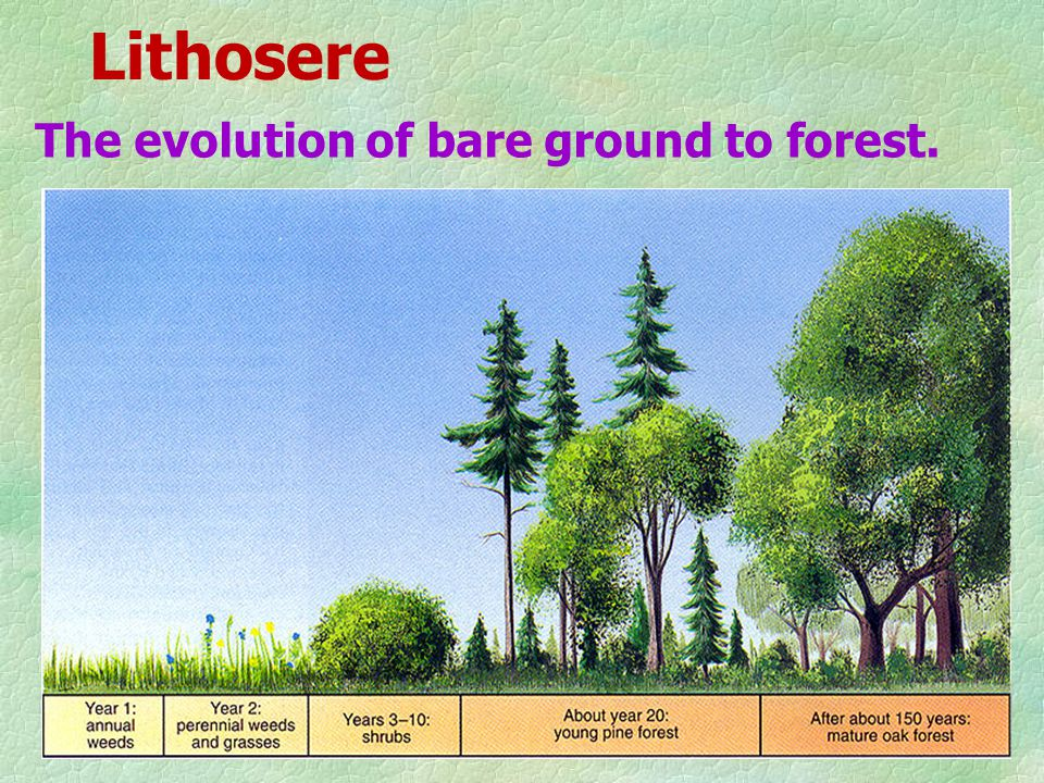 Lithosere The evolution of bare ground to forest.