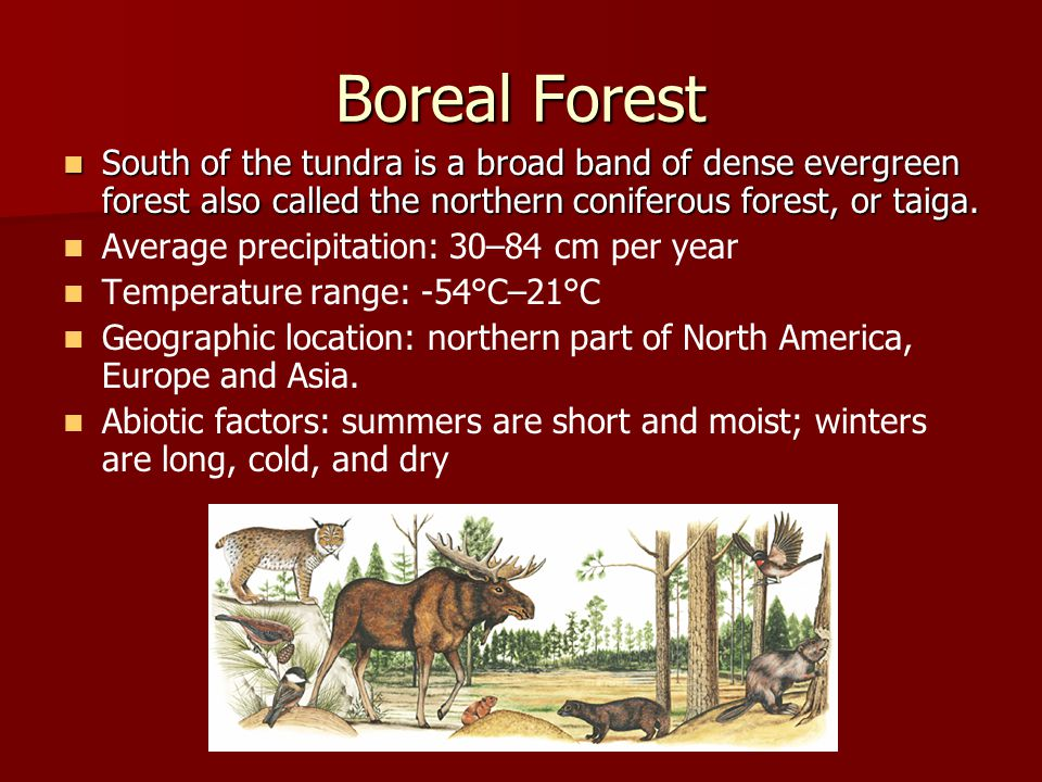 Boreal Forest South of the tundra is a broad band of dense evergreen forest also called the northern coniferous forest, or taiga.