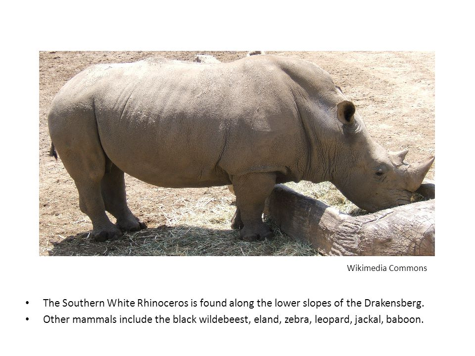 Wikimedia Commons The Southern White Rhinoceros is found along the lower slopes of the Drakensberg.