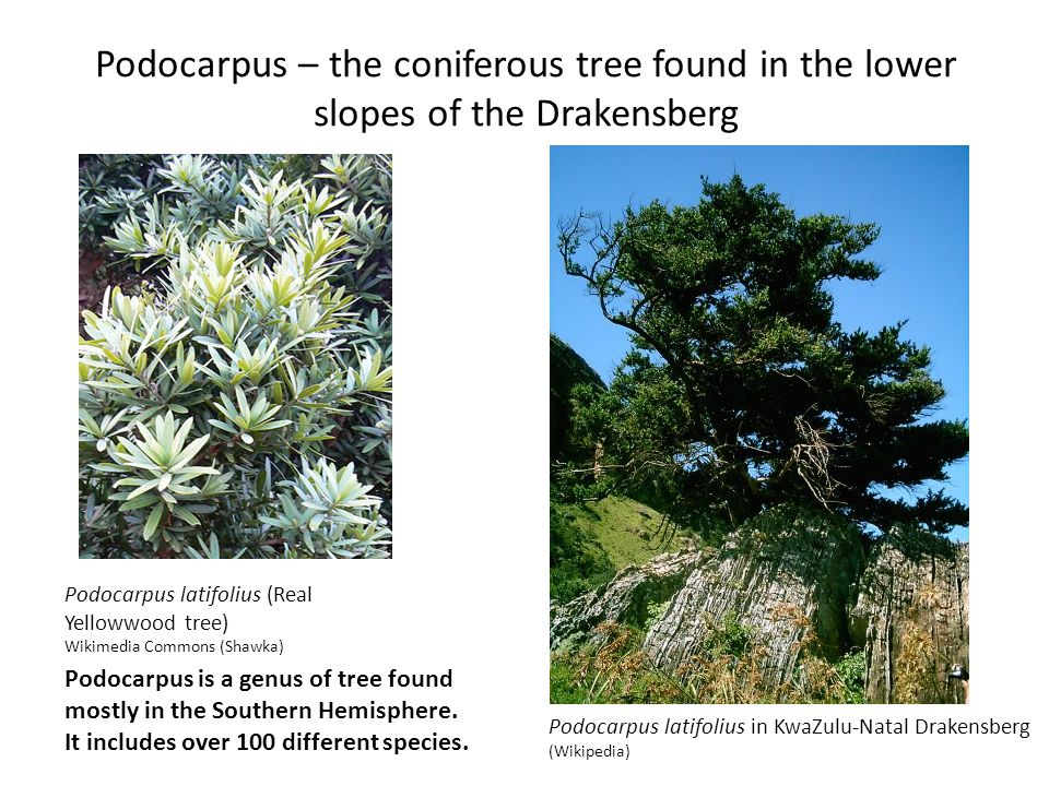 Podocarpus – the coniferous tree found in the lower slopes of the Drakensberg