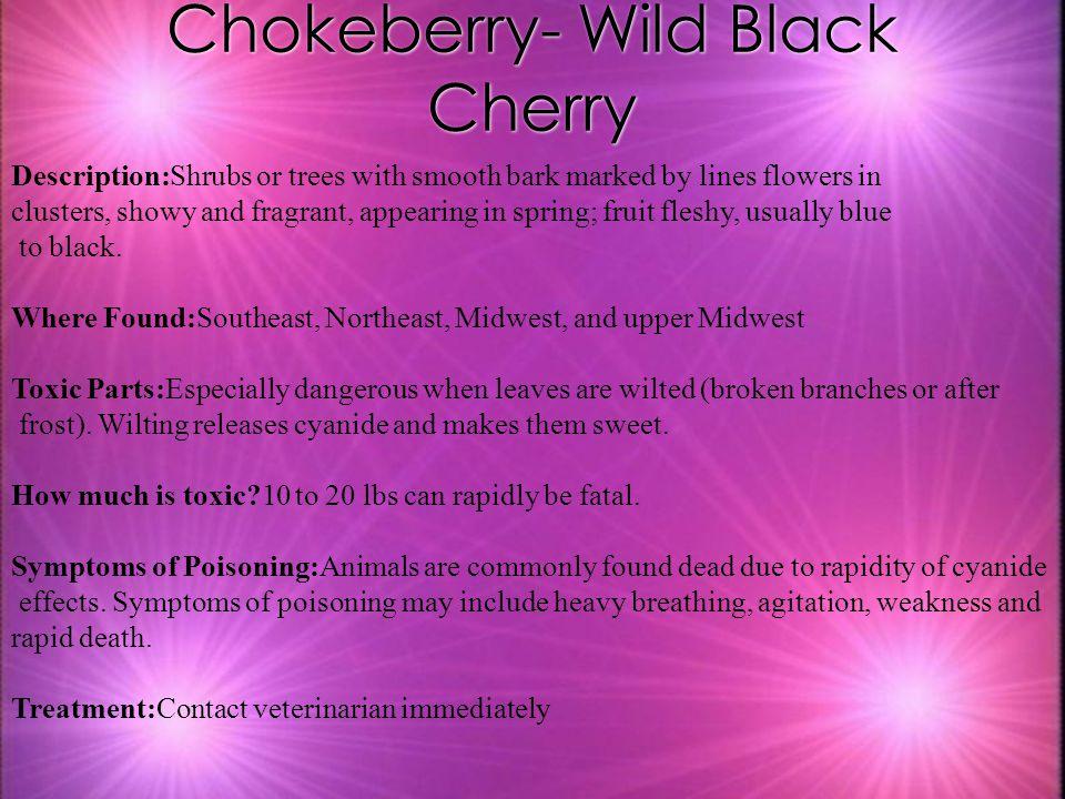 Chokeberry- Wild Black Cherry