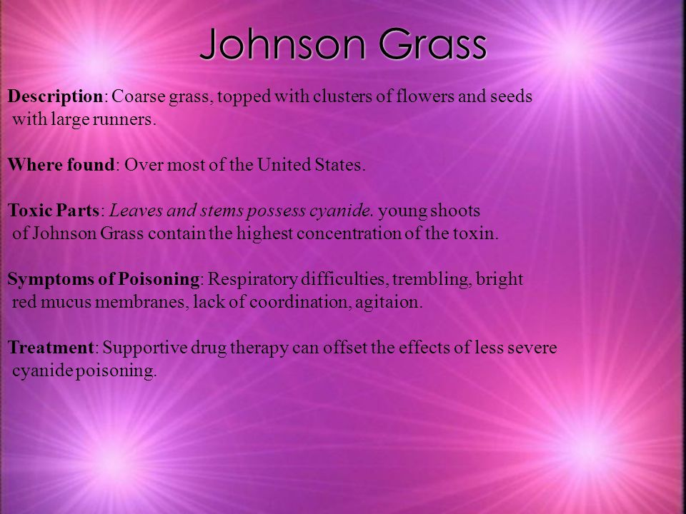 Johnson Grass Description: Coarse grass, topped with clusters of flowers and seeds. with large runners.