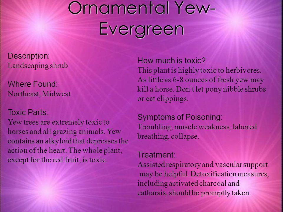 Ornamental Yew- Evergreen