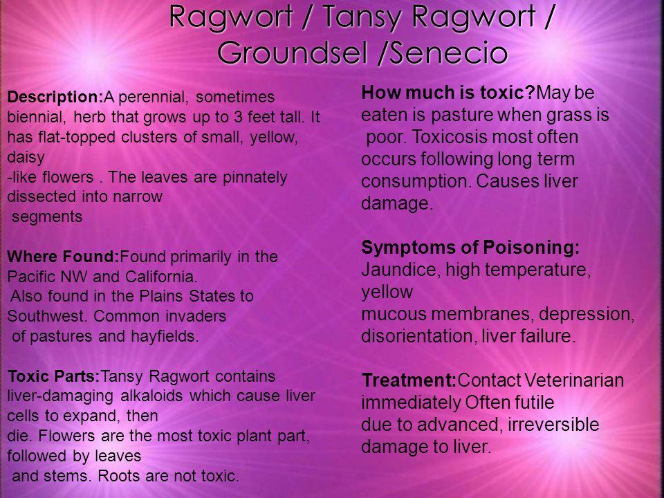 Ragwort / Tansy Ragwort / Groundsel /Senecio