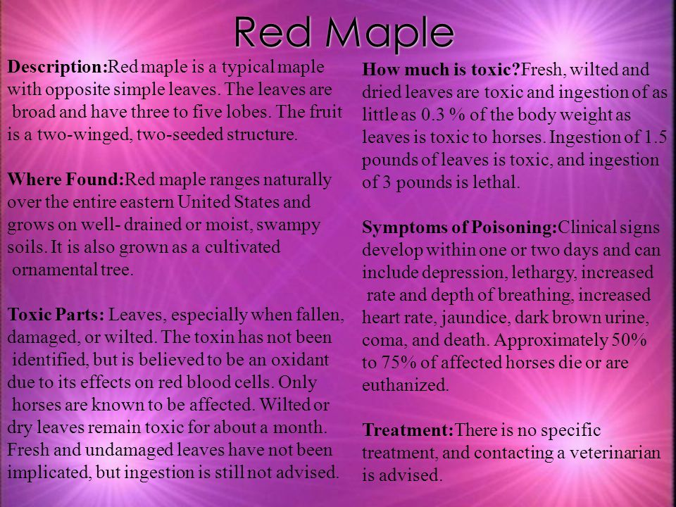 Red Maple Description:Red maple is a typical maple with opposite simple leaves. The leaves are.