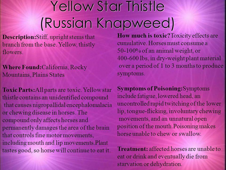 Yellow Star Thistle (Russian Knapweed)