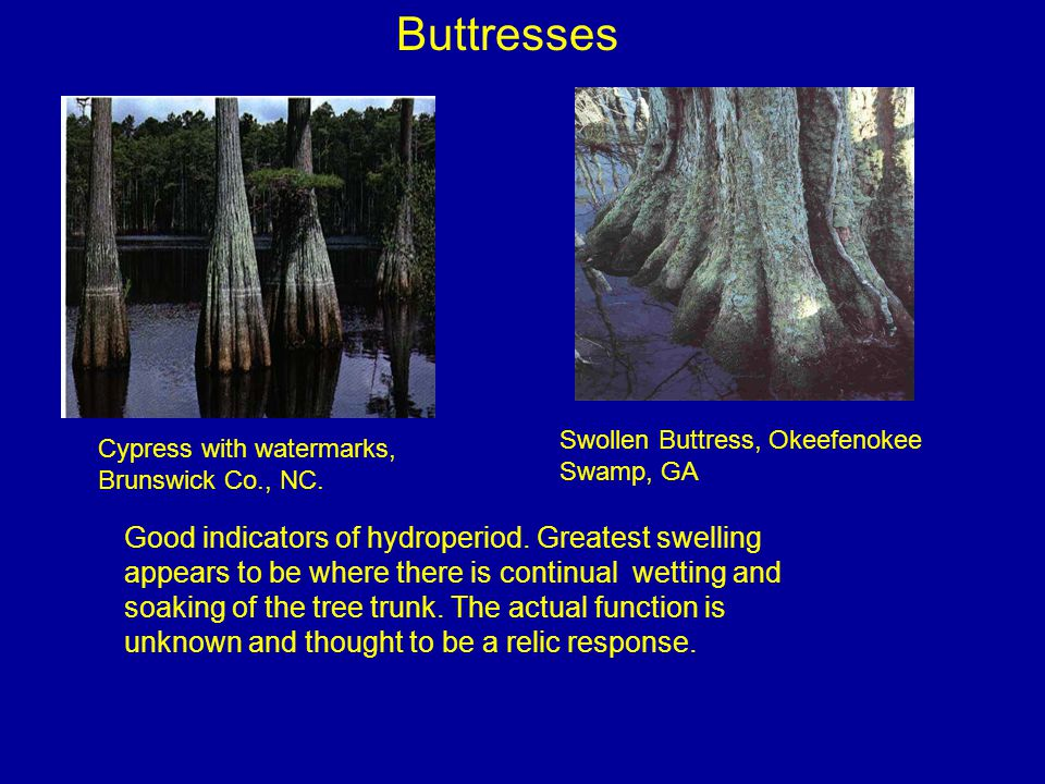 Buttresses Swollen Buttress, Okeefenokee. Swamp, GA. Cypress with watermarks, Brunswick Co., NC.