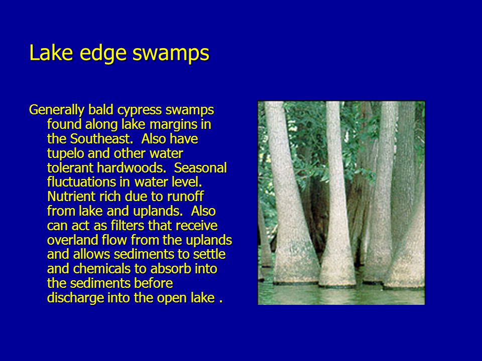 Lake edge swamps