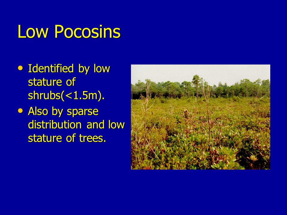 Low Pocosins Identified by low stature of shrubs(<1.5m).