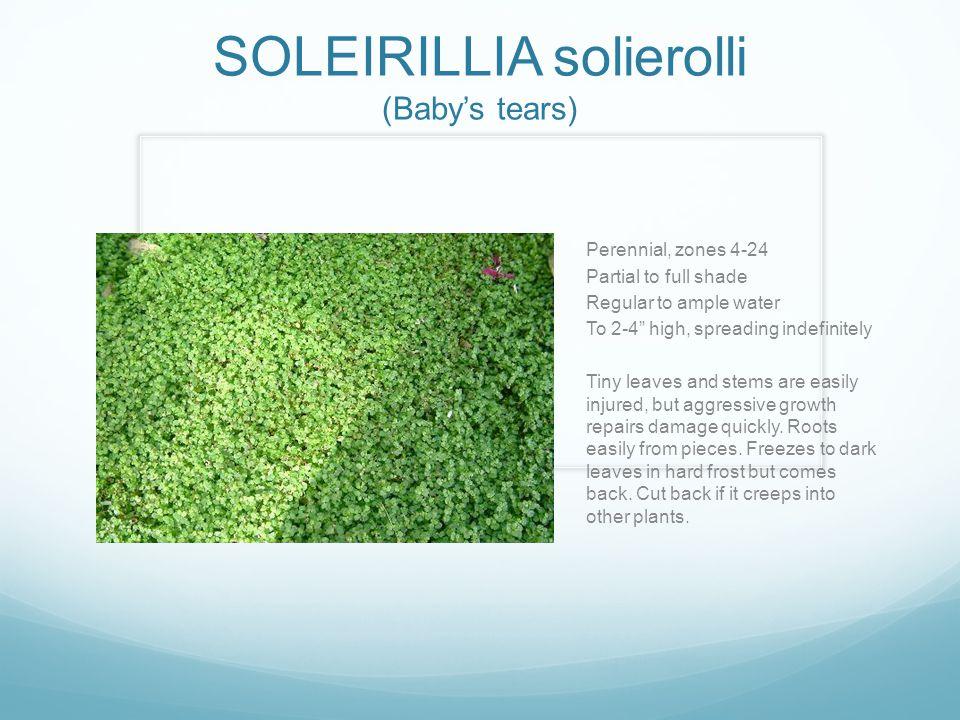 SOLEIRILLIA solierolli (Baby's tears)