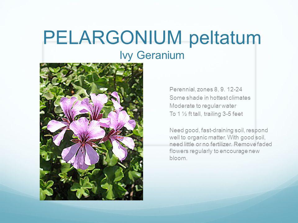 PELARGONIUM peltatum Ivy Geranium