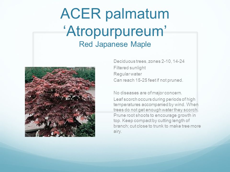 ACER palmatum 'Atropurpureum' Red Japanese Maple