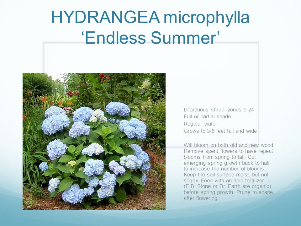 HYDRANGEA microphylla 'Endless Summer'