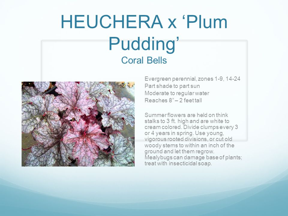 HEUCHERA x 'Plum Pudding' Coral Bells