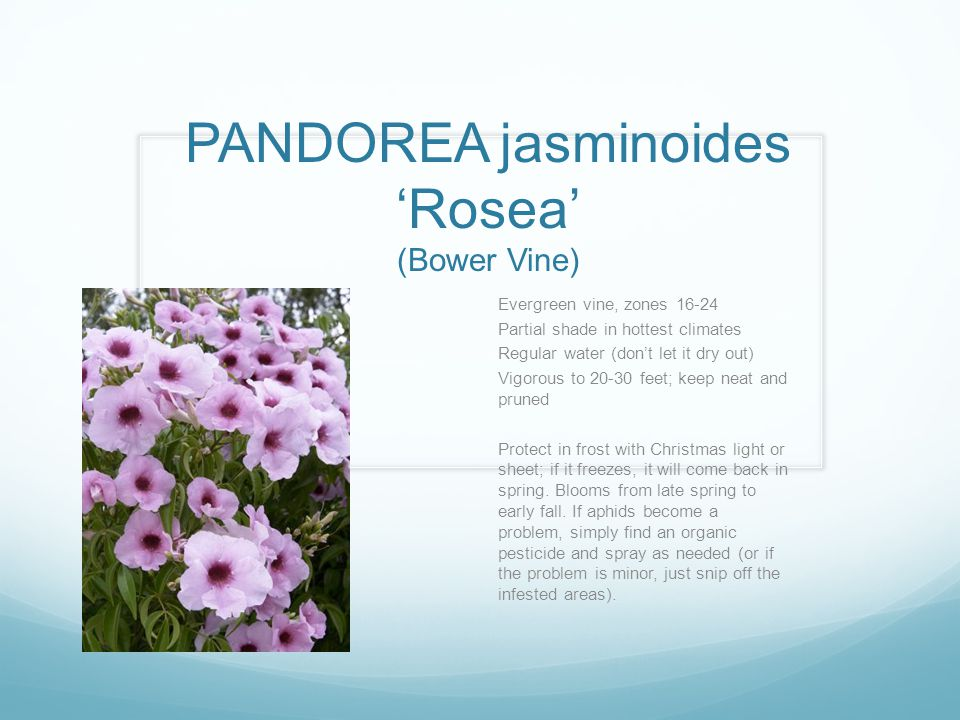 PANDOREA jasminoides 'Rosea' (Bower Vine)