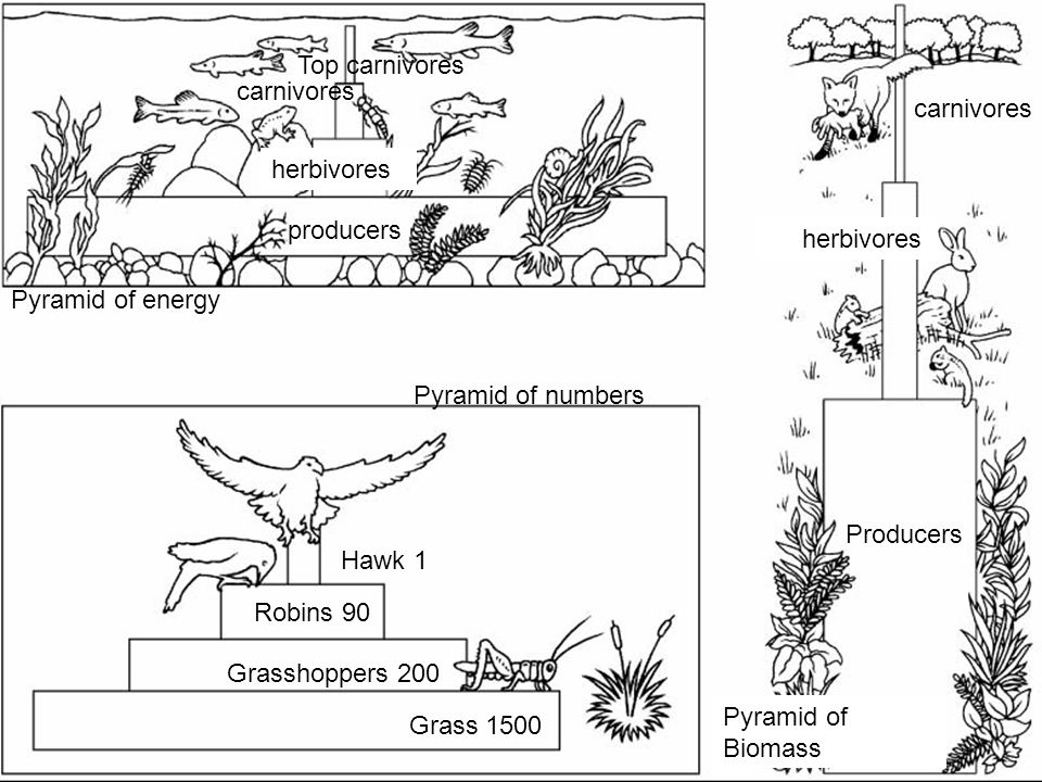 Top carnivores carnivores. carnivores. herbivores. producers. herbivores. Pyramid of energy. Pyramid of numbers.