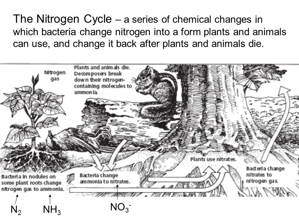 The Nitrogen Cycle – a series of chemical changes in which bacteria change nitrogen into a form plants and animals can use, and change it back after plants and animals die.