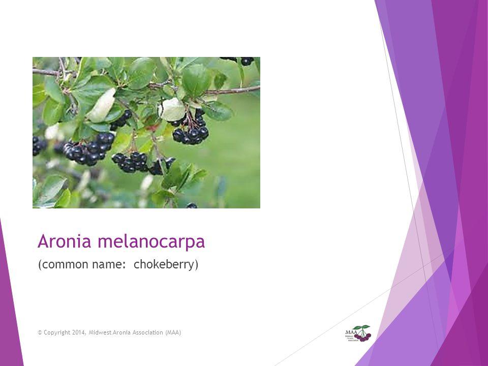 Aronia melanocarpa (common name: chokeberry)