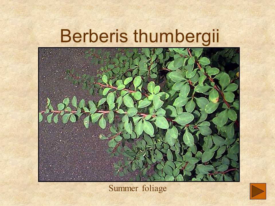 Berberis thumbergii Summer foliage