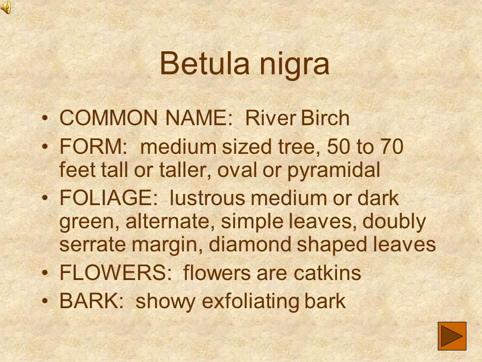 Betula nigra COMMON NAME: River Birch