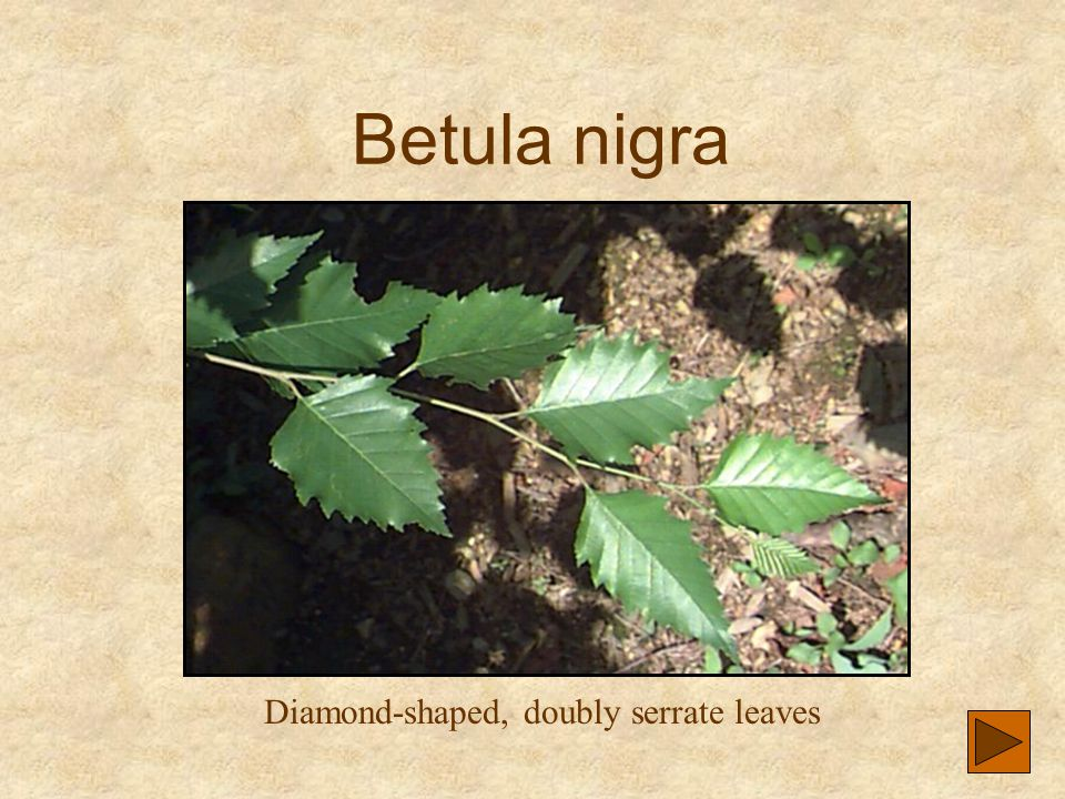 Diamond-shaped, doubly serrate leaves