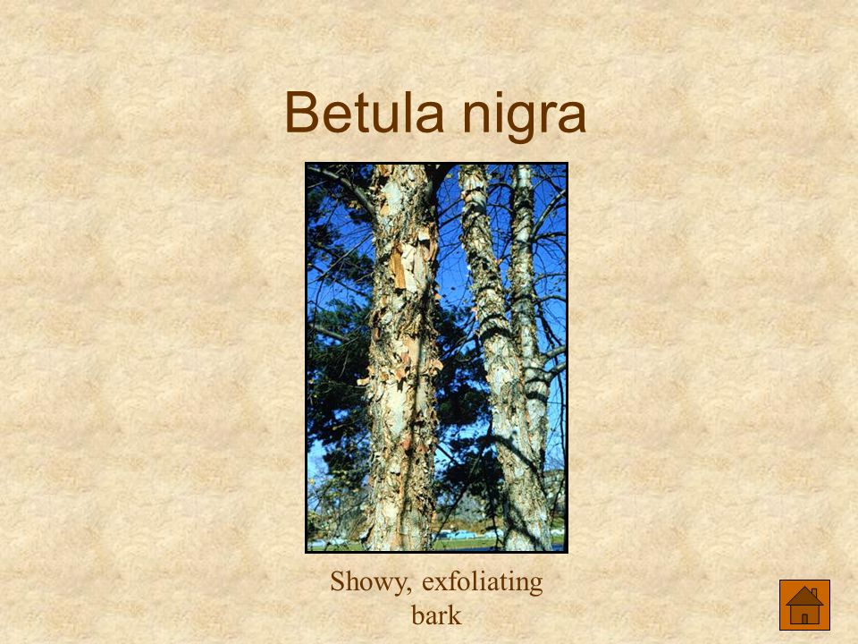 Showy, exfoliating bark