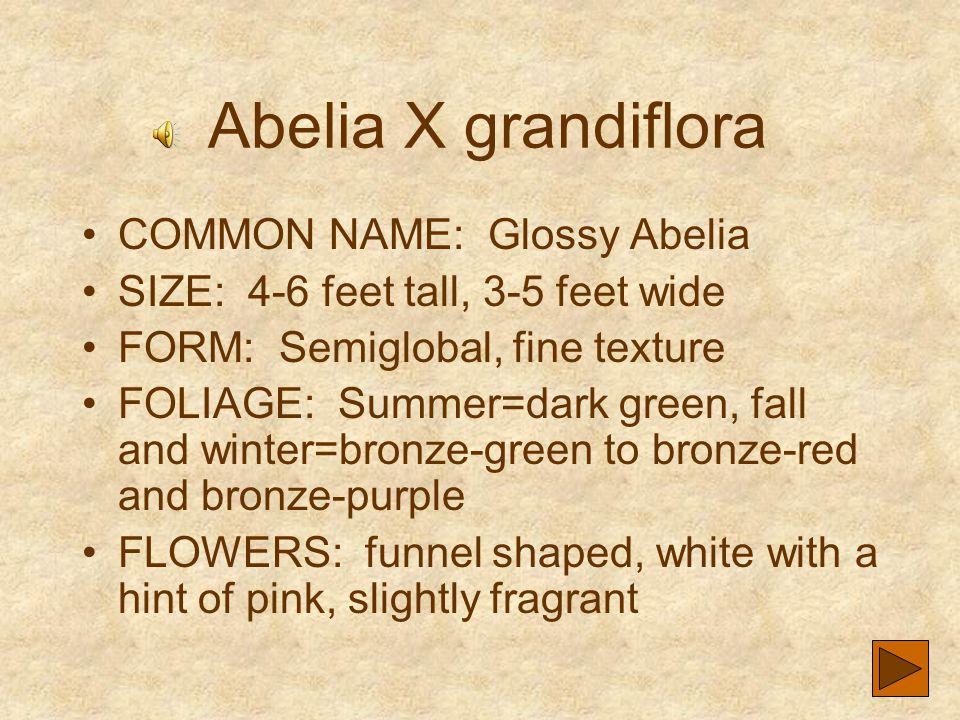 Abelia X grandiflora COMMON NAME: Glossy Abelia