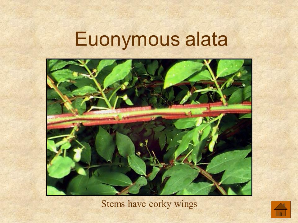 Euonymous alata Stems have corky wings