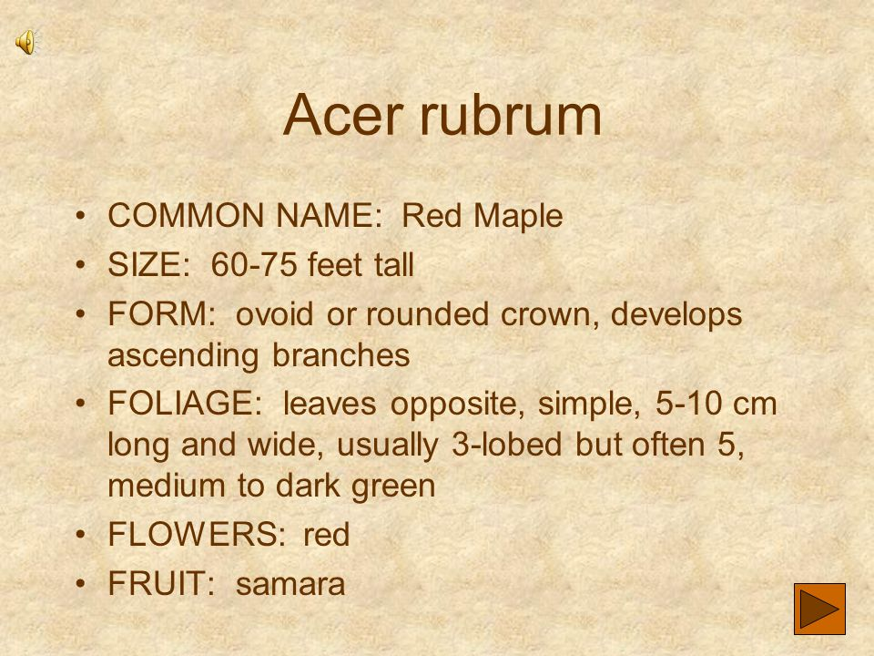 Acer rubrum COMMON NAME: Red Maple SIZE: 60-75 feet tall