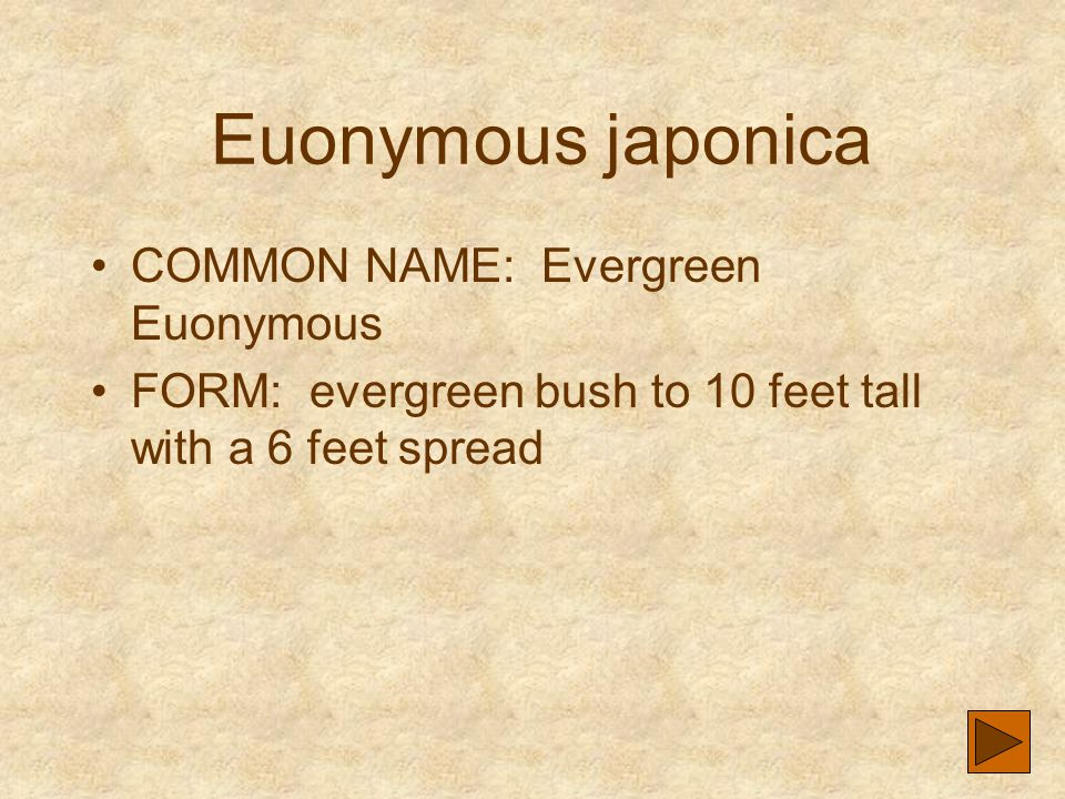 Euonymous japonica COMMON NAME: Evergreen Euonymous