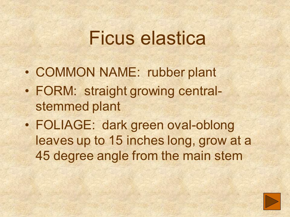 Ficus elastica COMMON NAME: rubber plant