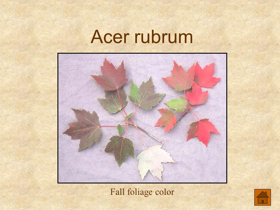 Acer rubrum Fall foliage color