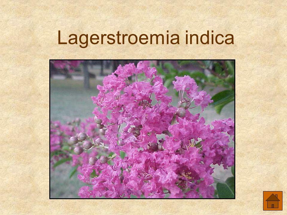Lagerstroemia indica