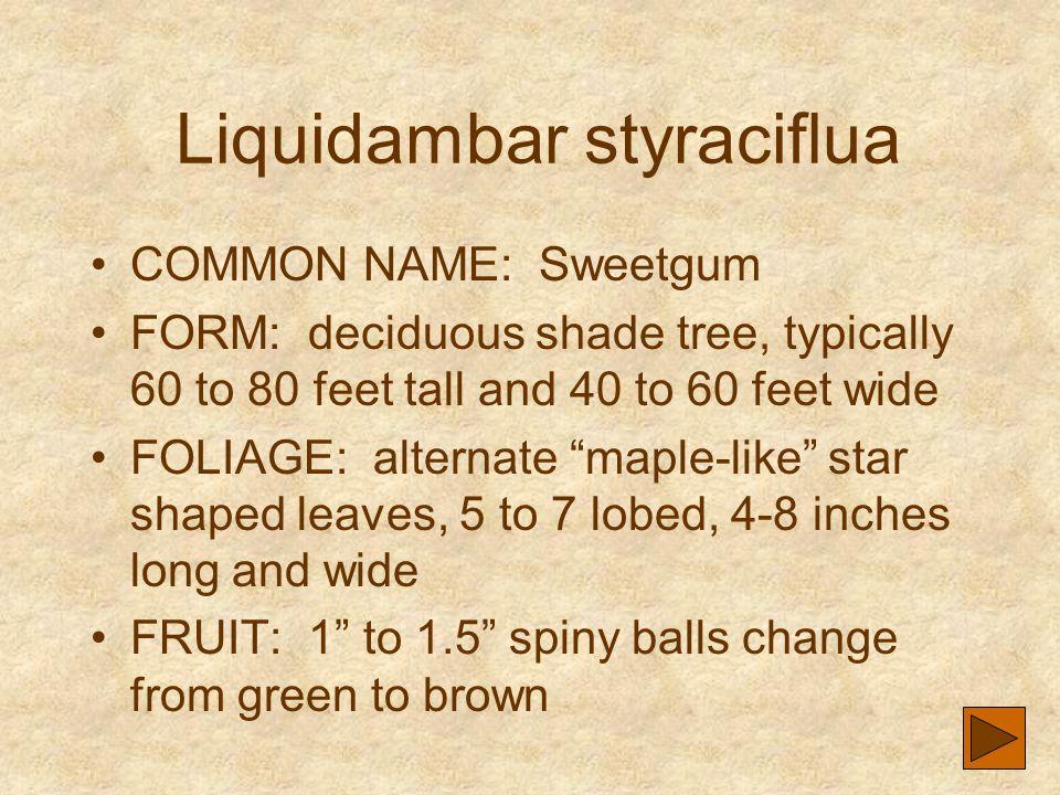 Liquidambar styraciflua