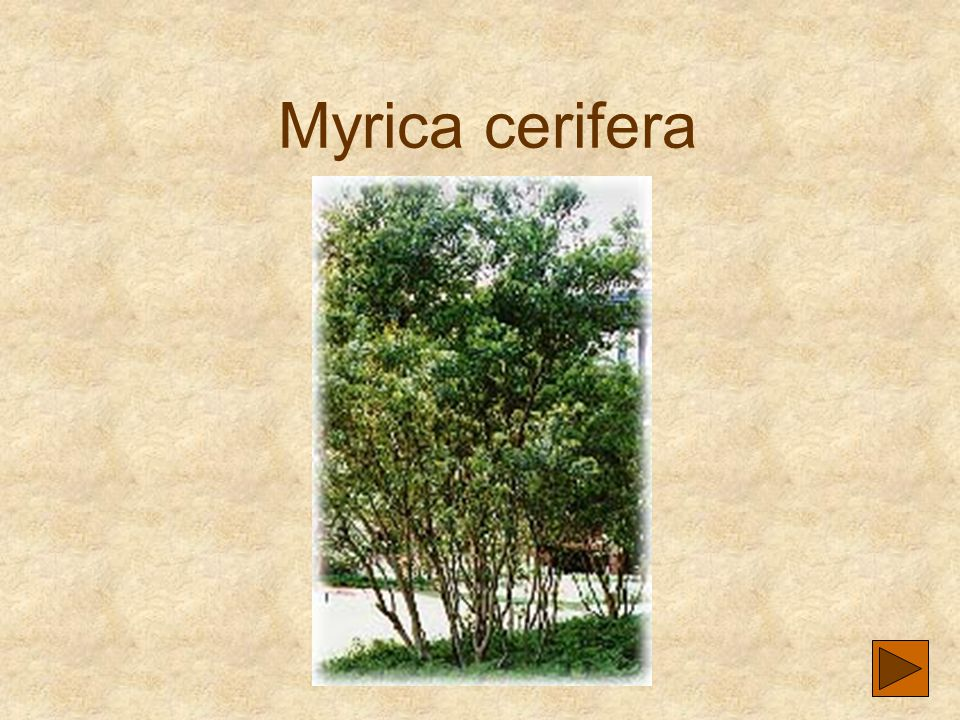 Myrica cerifera