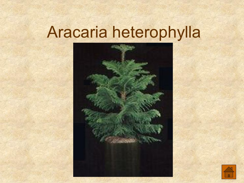 Aracaria heterophylla