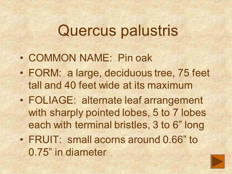 Quercus palustris COMMON NAME: Pin oak